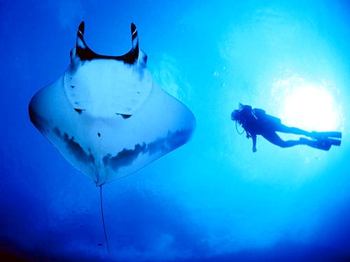 Falling in love with manta rays