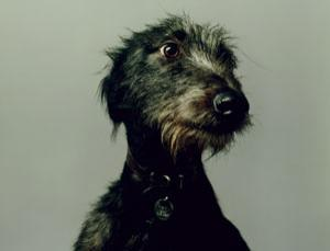 Just a single gene separates the Irish wolfhound from a chihuahua