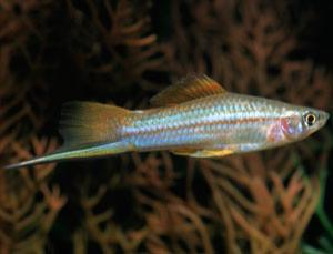 The swordtail can produce strange hybrids further down the line when crossed with similar species such as platyfish