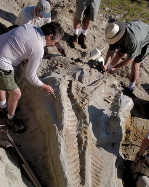 Murphey and Iacuzzo (left) working on a hadrosaur skeleton