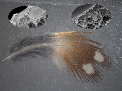 Tiny organelles known as melanosomes produce the vivid colours found in feathers and hair. Close examination of this zebra finch feather using a scanning electron microscope revealed that sausage-shaped eumelanosomes produce a black hue, while spherical phaeomelanosomes produce an orange-brown colour.