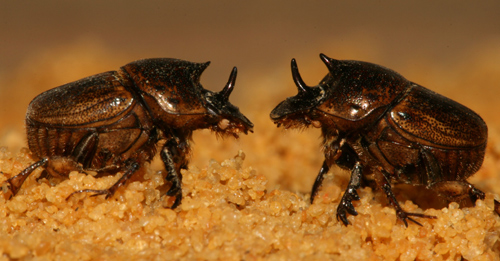 Lets roll in the dung.  Two females stand up to one another