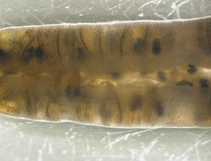 Inside a pregnant male's brood pouch, 10 days into gestation. The embryos are visible through the pouch folds, curled into little balls around the remnants of their yolk. The large black circles are their developing eyes