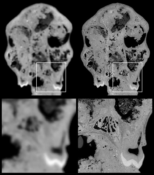 The tests compared a classical computer tomography scan (left) with a scan.  Using synchrotron microtomography (right). The much higher resolution and contrast are clearly visible. The lower part depicts a zoom into an area indicated by the square. This area includes a tooth and a cavity in the skull.