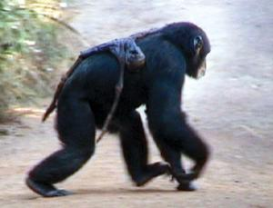 The female chimp Jire carries the mummified remains of her infant, Jimato, who died 17 days earlier