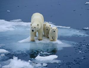 Rapid climate change may leave polar bears high and dry