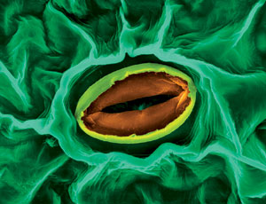 Stoma and guard cells on the underside of a broad bean leaf