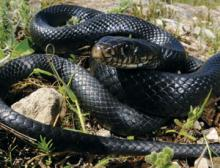 Western whip snakes are among the species in decline