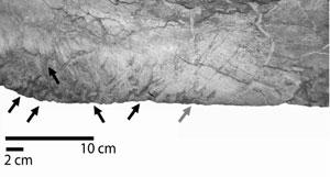 Arrows indicate some of the drag marks left by the teeth of the dinosaur, with their orientation indicated by the arrows' directions