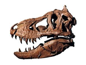 This female T. rex, called Samson, was discovered in 1987