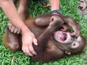 Laughter's secrets: The sound of a happy ape
