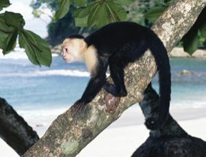 Capuchin cousins