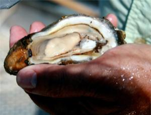 Healthy oysters have become a rarity following the huge oil spill (Sujata Gupta)