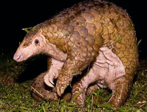 A Sunda pangolin, not putting up much of a fight