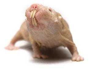 Naked mole rats can show strange behaviour and stranger physiology