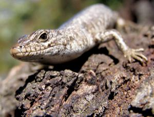 There's more than one way to sex a skink