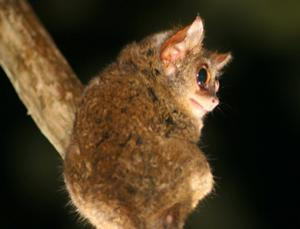 It's the eye of the tarsier
