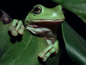 Australian green tree frogs have no trouble getting rid of foreign bodies