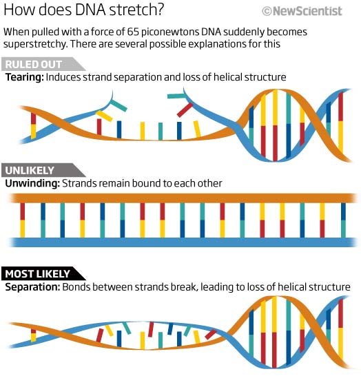 How does DNA stretch?