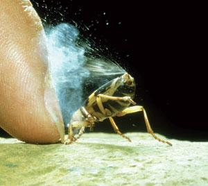 Bombardier beetles protect themselves with hot, caustic blasts from their rear ends