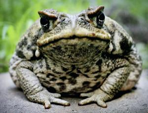 Is the notorious cane toad really a scourge of Australia's native fauna?