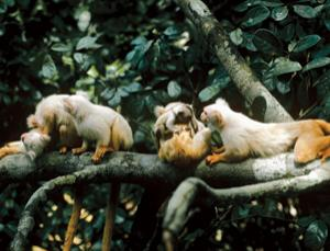Marmosets develop their exceptional social skills from an early age