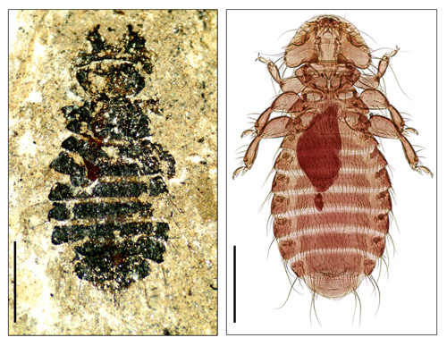 Megamenopon rasnitsyni (left) is a 44-million-year-old louse fossil, collected from the Eckfeld Maar crater near Manderscheid in Germany. It is a close relative of Holomenopon brevithoracicum (right), which parasitises the feathers of waterfowl