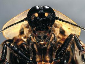 The death's head cockroach (Blaberus craniifer) with its devilish looks . See more in our gallery here