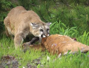 Mountain lions are stealthy killers who sneak up on their prey