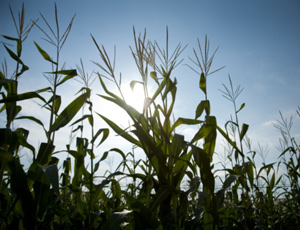 Too hot for maize to handle