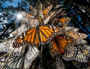 Every year millions of monarch butterflies travel to winter roosts in Mexico