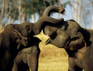 Elephant tusks are shrinking in the face of intensive hunting