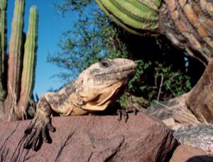 Many lizard species face extinction in the hotter climate of the future