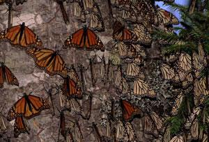 Missing monarchs