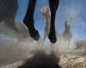 Equine Americans?