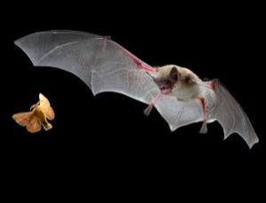 Echolocation helps bats to home in on their prey with amazing accuracy
