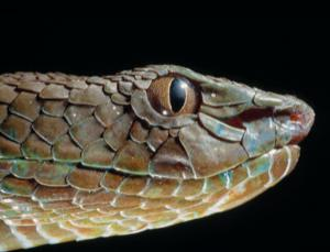 "Pits close to this snake's nostrils allow it to ""see"" in infrared"