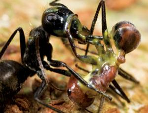 A carpenter ant (Camponotus cylindricus) has ruptured her body to spew a sticky yellow glue, which has killed both her and the larger worker of another ant species