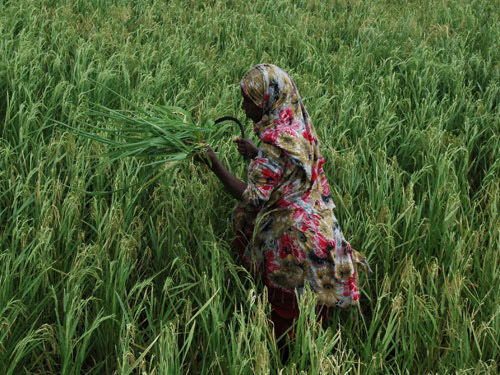 A farmer collecting weeds from a rice plot as fodder for livestock. The FAO is supporting this community-based irrigation scheme in Jarajara near Garissa, Kenya