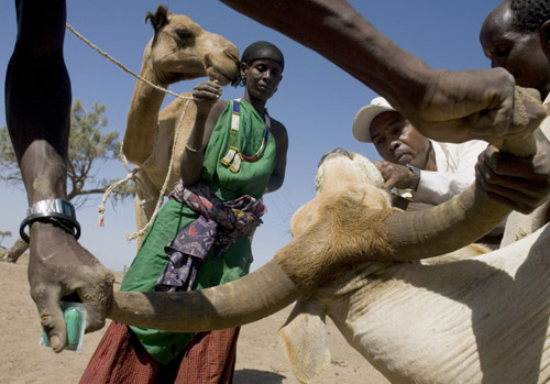 A veterinary surgeon at work during a vaccination campaign for livestock in the Shinile Somali region of Ethiopia