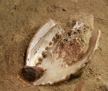 An abalone shell before excavation, with an ochre-coloured grindstone on the shell lip