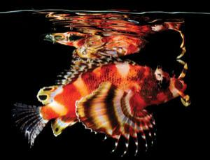 Twin-spot lionfish  – see more here