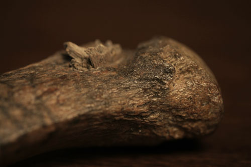 A close-up of the bone weapon point fragment embedded in the mastodon rib