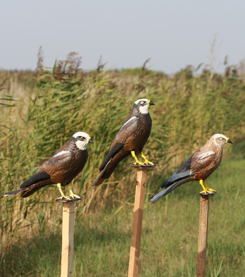 Marsh harrier decoys