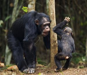 Get my meaning? A western chimpanzee male, aged 53, plays with a 3-year-old male infant in Bossou Forest, Guinea