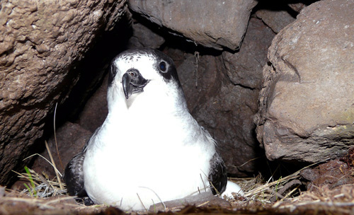 A Barau's petrel in its burrow