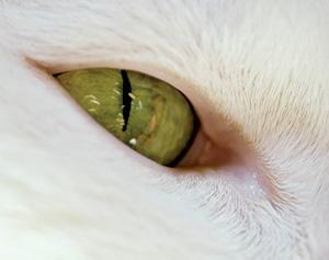 The muscles controlling cats' pupils do not require nerve signals