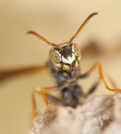 Female Polistes fuscatus paper wasps have unique faces that are used for individual recognition