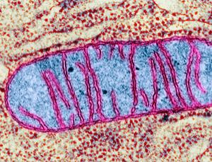 A cell's powerhouse, its mitochondrion