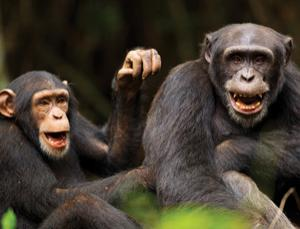 Wild chimps trade tools, food and favours to maintain group harmony
